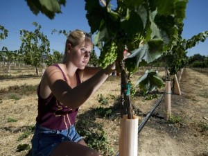 Student Holly Reynolds, 20, trims grapevines in a class at UC Davis on June 4, 2014. (Paul Kitagaki Jr./The Sacramento Bee)